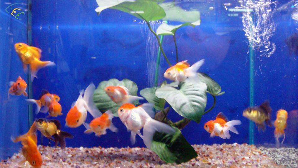 Foto acquari pesci tropicali uccelli esotici e animali rari for Pesce oranda