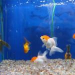 Acquari e Pesci Oranda Orifiamma e Testa di Leone a Taranto