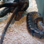 Serpenti a Taranto