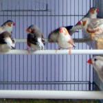 Uccelli (Diamante mandarino) a Taranto