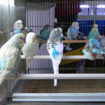 Uccelli (Pappagallini) a Taranto